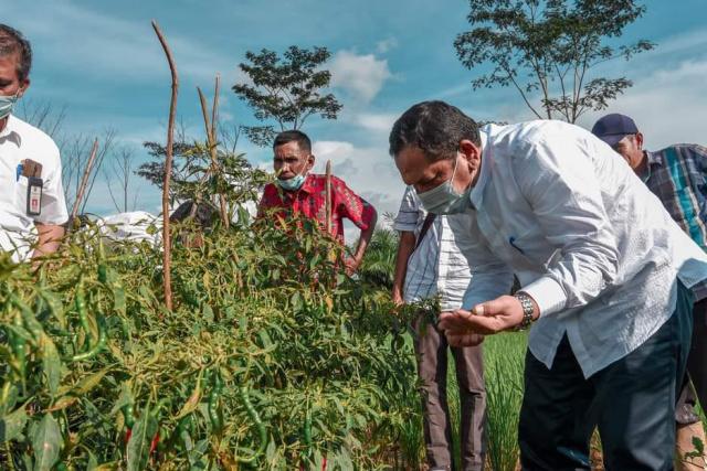 Walikota Padangsidimpuan sedang panen cabai merah di Desa Borgot Topong, Batunadua